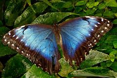 DSC05798 (Argstatter) Tags: himmelsfalter schmetterling tagfalter falter butterfly blau natur insekt nahaufnahme tier