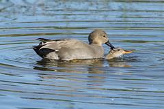 K32P1053c Gadwall, Lackford Lakes, October 2019 (bobchappell55) Tags: lackfordlakes wild bird wildlife nature gadwall dabbling duck anasstrepera