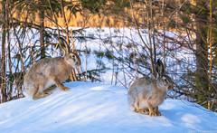 Rusakko (Lepus europaeus), European hare (G10A5951LR-2) (pohjoma) Tags: eläin jänis rusakko lepuseuropaeus europeanhare canoneos7dmarkii canonef100400mmf4556lisiiusm finland wildanimal animal mammal nature wildlife
