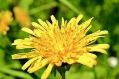 Dandelion (Bakuman3188) Tags: löwenzahn blume gelb nature natur flower plant pflanze grün deutschland dandelion green yellow タンポポ 花 自然 黄色 植物 緑 ドイツ germany