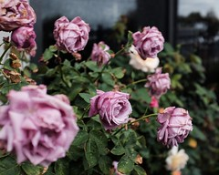 Roses (Indigo Skies Photography) Tags: fujifilm x100t rose flowers summer home house garden colour dof bokeh