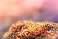 Sony a7r2 sony 90mm g 2.8 macro (Jasrmcf) Tags: sony sonymacro sonyimages sony90mm28 sonya7rii garden nature ngc colours colourful colour colourartaward detail depthoffield dof smooth blur bokeh bokehgraph bokehlicious 90mm moss closeup