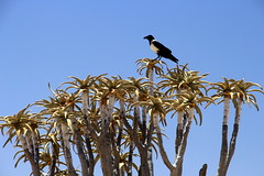 The Quiver Tree (Alan1954) Tags: tree quivertree namibia desert holiday 2019