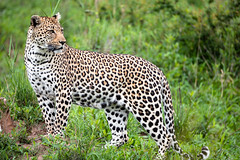 Leopard perched up (Mark Nicholas Heah) Tags: natgeo natgeowild wildlife animal animals naturereserve nature kruger nationalpark nationalgeographic fierce leopard bigcats cat african africa