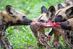 Wild dogs pulling (Mark Nicholas Heah) Tags: natgeo natgeowild wildlife animal animals naturereserve nature kruger nationalpark nationalgeographic fierce african africa wilddog painteddog dog cute pull
