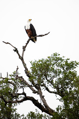 Fish Eagle (Mark Nicholas Heah) Tags: natgeo natgeowild wildlife animal animals naturereserve nature kruger nationalpark nationalgeographic fierce african fisheagle africa