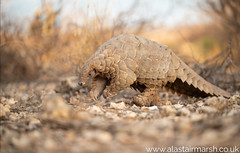 Pangolin (Alastair Marsh Photography) Tags: scale animal animals mammal scales mammals pangolin pangolins groundpangolin animalsintheirlandscape groundpangolins africa nature wildlife conservation endangered namibia critical rare travelphotography africanwildlife criticallyendangered wildlifephotography africanmammals africanmammal