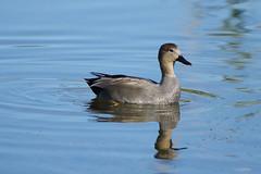 K32P1048c Gadwall, Lackford Lakes, October 2019 (bobchappell55) Tags: lackfordlakes wild bird wildlife nature gadwall dabbling duck anasstrepera