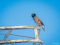 🇺🇸 Common myna KW 2329 (vickyoutenphoto) Tags: vickyouten commonmyna wildlife nature nikon nikond7200 nikkor55300mm keywest florida usa