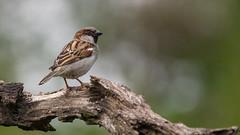 House sparrow (Jongejan) Tags: bird animal outdoor outside sparrow beak feather bokeh branch nature