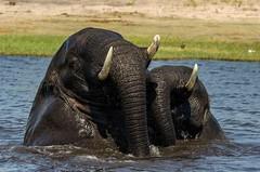 More fun in the sun... (lyn.f) Tags: elephant bulls mammalswild big5 swimming water waterislife nature naturelover nikon choberiver botswana botswanamagic africa safari pangolinphotosafaris