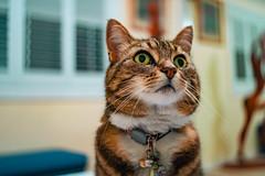 Nell 003 (commontropes) Tags: sonya7rii sony a7rii sonyalpha cat cats lensbaby burnside 35mm burnside35 feline