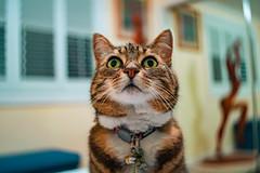 Nell 005 (commontropes) Tags: sonya7rii sony a7rii sonyalpha cat cats lensbaby burnside 35mm burnside35 feline