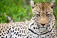 Leopard stare (Mark Nicholas Heah) Tags: natgeo natgeowild wildlife animal animals naturereserve nature kruger nationalpark nationalgeographic fierce leopard bigcats cat african africa