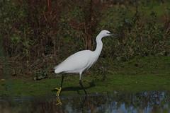 K32P1105c Little Egret, Lackford Lakes, October 2019 (bobchappell55) Tags: lackfordlakes wild bird wildlife nature littleegret egrettagarzetta