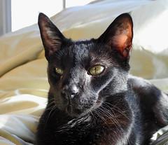 Sunspot Connoisseur (annette.allor) Tags: happycaturday sunbeam sunspot windows warm atmosphere cat cats feline connoisseur sunlight streaming portrait