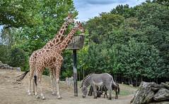 Regard.... (balese13) Tags: 1855mm beauval d5000 loiretcher nikonpassion saintaignan yourbestoftoday animal animaux balese girafe nikon nikonistes pixelistes zoo zèbre 500v20f 1000v40f 1500v60f