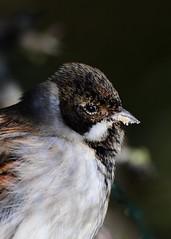 Reed Bunting (gillybooze (David)) Tags: ©allrightsreserved teleconverter14 600mmf4 bird reedbunting birdwatcher outside bokeh dof outdoor wildlife wild feathers
