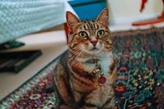 Nell 001 (commontropes) Tags: sonya7rii sony a7rii sonyalpha cat cats lensbaby burnside 35mm burnside35 feline