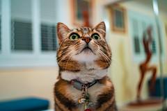 Nell 004 (commontropes) Tags: sonya7rii sony a7rii sonyalpha cat cats lensbaby burnside 35mm burnside35 feline