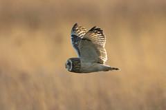 Golden Brown, texture like sun (Chris Bainbridge1) Tags: asioflammeus shortearedowl in flight flying golden hour fens