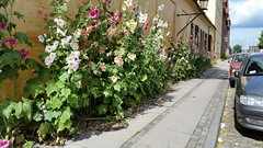 Sidewalk Flowers (donXfive) Tags: year places copenhagen 2015 july month denmark
