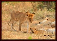 YOUNG SUB-ADULT LION WITH CUB (Panthera leo)  ......MASAI MARA......SEPT 2018. (M Z Malik) Tags: nikon d3x 200400mm14afs kenya africa safari wildlife masaimara keekoroklodge exoticafricanwildlife exoticafricancats flickrbigcats pantheraleo leo lioncubs pride lions