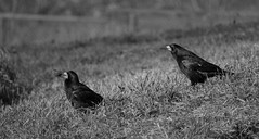 Give it to me! (damianf5088) Tags: rook bird birds animal black white bw blackandwhite blackwhite nature landscape wild animals moments canon eos 1200d 55250 stm outdoor outside