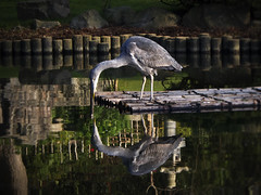 I am just too good to be true (peggy wein) Tags: webfeet tail feathers lookingglass olympus reflections water beak heron bird