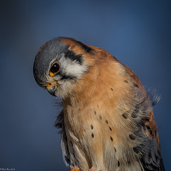 The look (Fred Roe) Tags: nikond7100 nikonafsnikkor200500mm156eed nature naturephotography national wildlife wildlifephotography animals birds birding birdwatching birdwatcher raptor falcon americankestrel falcosparverius colors outside flickr peacevalleypark