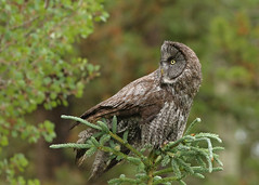 Great Gray Owl...#21 (Guy Lichter Photography - 5.3M views Thank you) Tags: canon 5d3 canada alberta wildlife animal animals bird birds owl owls greatgrayowl tree