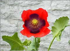 Solitary Poppie .. (** Janets Photos **) Tags: uk eastyorkshire poppies flowers floral plants red closeups macro