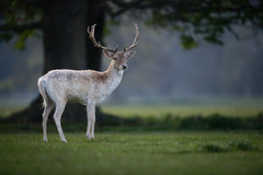 'King of Holkham' (Jonathan Casey) Tags: holkham deer fallow hall england uk tree nikon d850 400mm f28 vr