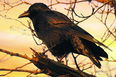 a crow in the evening light (planes, space, nature) Tags: crow evening light bird tree dawn dämmerung baum branches branch beak blatt