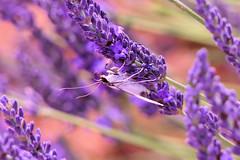 P1140393 (alainazer) Tags: valensole provence france fiori fleurs flowers fields champs colori colors couleurs lavande lavanda lavender insecte animal