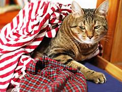 PJ Harvey is definitely not yet in the Catmas spirit. :( (kirstiecat) Tags: catmas meowycatmas merrycatmas cat chat gato christmas holiday caturday feline kitty tabby tabbycat