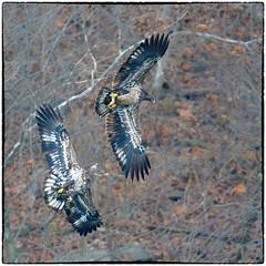 Gimme taht! (RKop) Tags: eastforklake raphaelkopanphotography ohio nature baldeagle nikon nikkor600f4evr d500 14xtciii