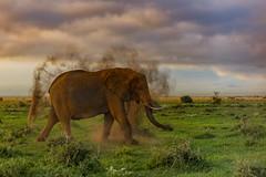 "Flinging Dirt  1L4A7218 (Dr DAD (Daniel A D'Auria MD)) Tags: elephants africanelephants bushelephants africa kenya amboseli amboselinationalpark tanzania serengeti maasaimara mara mammals wildlife ""largestanimal"" ""largestmammal"" wildlifephotography awardwinning danielad'auriamd"" ""drdadbooks"" ""children'swildlifebooksbydanield'auria"" ""danield'auria"" ""november2019"""