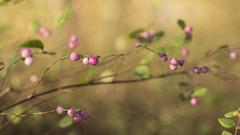 Baies roses *----+°-° (Titole) Tags: berries pink titole nicolefaton branches symphoricarpos symphorine friendlychallenges 15challengeswinner challengeyouwinner cyunanimous