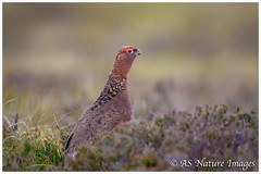 Cock Red Grouse Calling (www.andystuthridgenatureimages.co.uk) Tags: grouse red cock male call calling heather moor moorland peakdistrict nationalpark canon wildlife photography gamebird