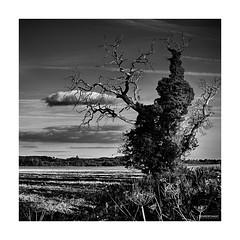 Le mangeur de nuages… (DENISDROUAULT) Tags: arbres borderfx châtaignier noiretblanc nuages