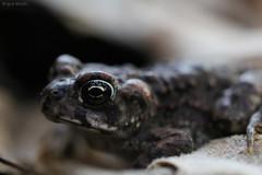 Anaxyrus boreas halophilus | California Toad (brycewade) Tags: anaxyrus boreas california toad macro