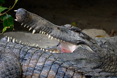 False Gharial, Bioparc, Fuengirola, Spain (rmk2112rmk) Tags: falsegharial bioparc crocodile tomistoma schlegelii gharial reptile animal dof