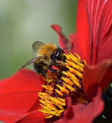 Bee and Dahlia (MJ Harbey) Tags: bee dahlia flower nationaltrust canonsashby northamptonshire eudicot asterales asterid helianthodae nikon d3300 nikond3300