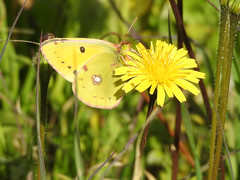 Clouded Yellow Butterfly (Colias crocea) (Brian Carruthers-Dublin-Eire) Tags: clouded yellow butterfly colias croceus cloudedyellowbutterfly coliascroceus animalia arthropoda insecta lepidoptera pieridae ccroceus insect insects animal nature wildlife outdoor algarve portugal