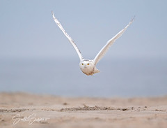 Snowy Flight... (DTT67) Tags: snowyowl owl beach bif canon1dxmkii 1dxmkii canon flight bird
