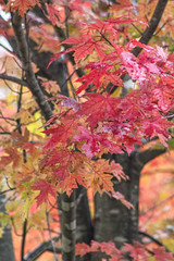 Backbone State Park Series (vickieklinkhammer) Tags: tree maple plant leaf flower branch mapleleaf red fall noperson blackmaple outdoor woodyplant nature autumn sitting bush season small vegetation color floweringplant colorful treetrunk park peony pottery deciduous outdoors northernhardwoodforest pink grove wood flora environment large pottedplant bright temperatebroadleafandmixedforest green lush daylight twig gold plantstem afternoon outside misty rain many