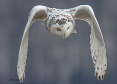 0D9A5708-2 (erenatial) Tags: ontario canada winter canadian camara canon bird raptor harfang des neiges snowy owl