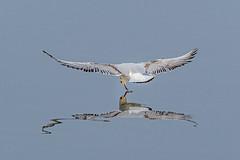 The Graceful Hunter! (chandra.nitin) Tags: animal bif bird blackheadedgull nature outdoor prey river water wildlife newdelhi delhi india