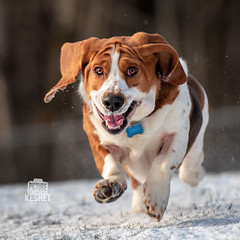 Picture of the Day (Keshet Kennels & Rescue) Tags: adoption dog dogs canine ottawa ontario canada keshet breed animal animals kennel rescue pet pets nature photography basset hound run smile happy snow winter